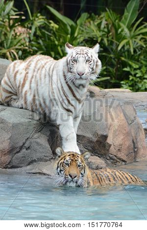 BRISBANE AUSTRALIA - OCTOBER 2016: White and Orange Tigers October 14 2016 Brisbane Australia.