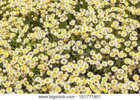 Everlastings Or Coastal Fynbos Flowers