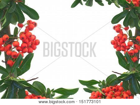 Pyracantha plant with red berries on white