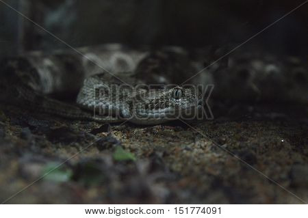 A diamondback rattlesnake hiding under the canopy. Photographed in Universeum Sweden.