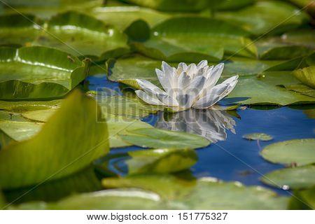 Beautiful white lotus flower blooming in Ontario lake