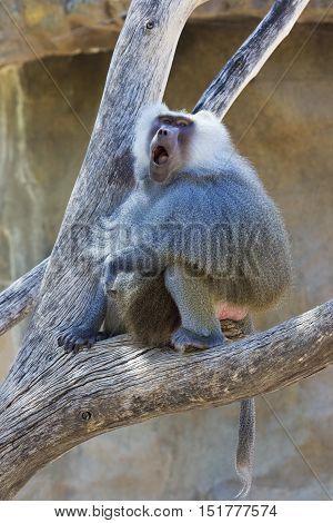 Hamadryas baboon turns and calls at Phoenix Zoo in Arizona USA.