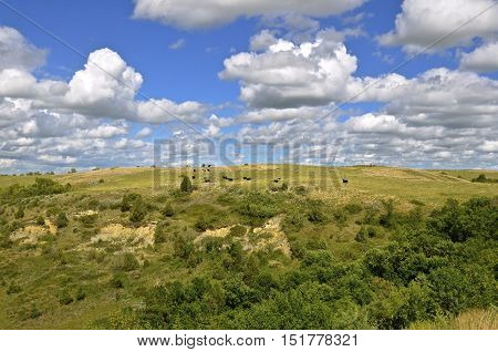 Cattle graze the hills in the rugged Theodore Roosevelt Badlands of North Dakota
