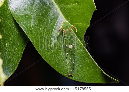 Close up of Tawny Rajah (Charaxes bernardus) caterpillar on its host plant leaf