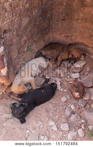 Three puppies napping in ancient city of Polonnaruwa, Sri Lanka