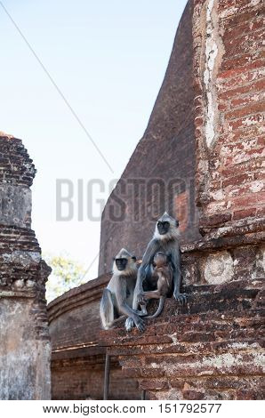 A family of Hanuman or Grey Langurs at ancient city of Polonnaruwa, Sri Lanka