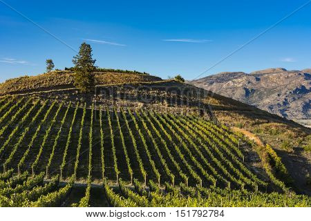 Vineyard near Okanagan Lake near Summerland British Columbia Canada with hills and blue sky in the background