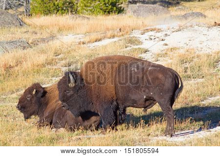 Bisons in the Yellowstone national park, Wyoming, USA