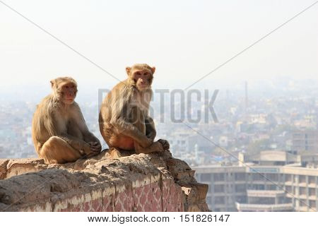Sitting monkeys, against the background of the Jaipur City in the Rajstan state in India.