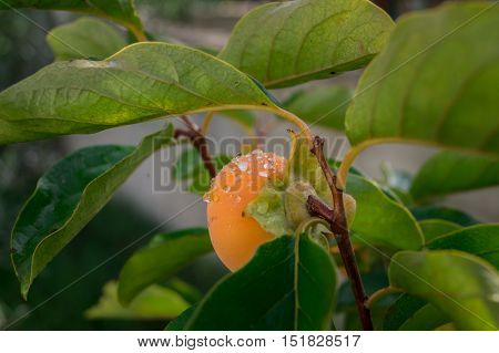Persimmon tree with Persimmons fruit after rain.