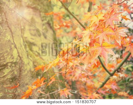 Abstract autumn maple leave background with retro style