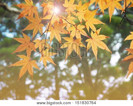 Color change of Autumn maple leave in Japan with sun light- Abstract natural background