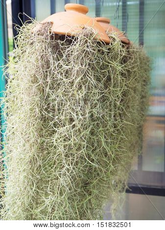 Spanish moss plant hanging for garden decoration