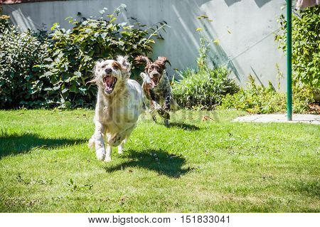 Two hunting dog running in the garden