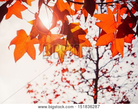 Color change of Maple autumn leave background