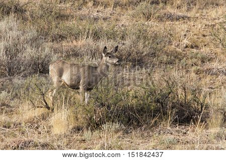 A deer is waiting a bush near Winthrop Washington.