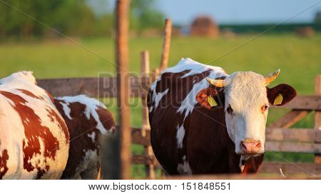 Cows in the Pasture Corral. Herd of cows on the pasture. Cows grazing outdoors. Healthy domestic animal on summer pasture.