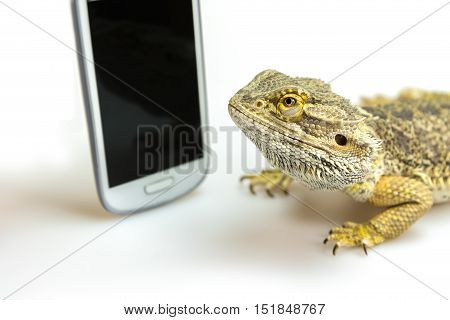 Closeup view of the agama lizard lying on the white background and looking on the black display of the standing smart phone. All potential trademarks are removed.