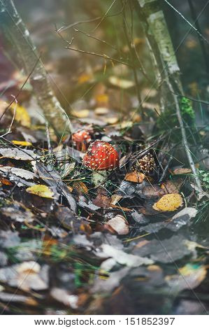 Red poison mushroom on background of fallen leaves in autumn forest