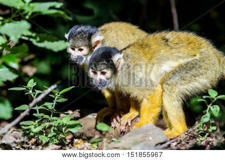 in the trees there are squirrel monkey