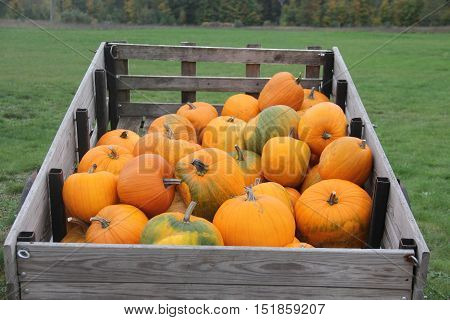 Pumpkin (Cucurbita pepo) loaded into a wooden trailer