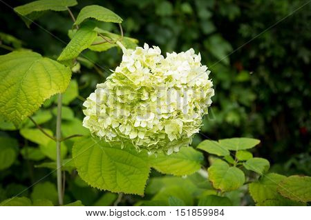 White flowers of Hydrangea Paniculata Limelight closeup