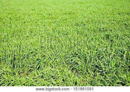 Winter Wheat Seedlings