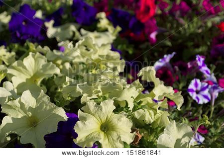 light green petunia flowers on a background of a different colored petunias