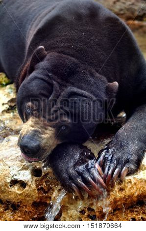 Asian sun bear takes a drink, but watches warily.  His paws have long claws.