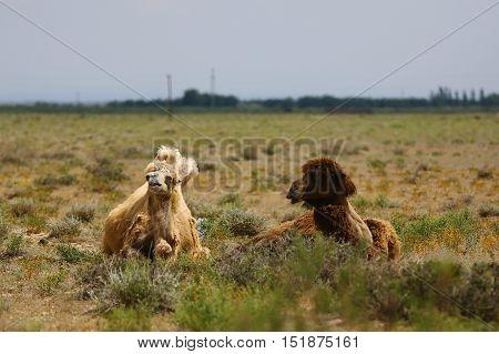 Nature, animals, fauna, camel, desert, Camelidae, masalamovies, Camelidae, artiodactyls