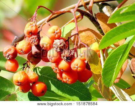 Rowanberry on a tree in Thornhill Canada October 12 2016