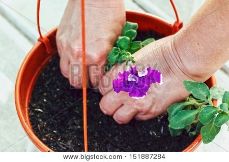 transplanting flowers in the garden transplanting,  outdoors,