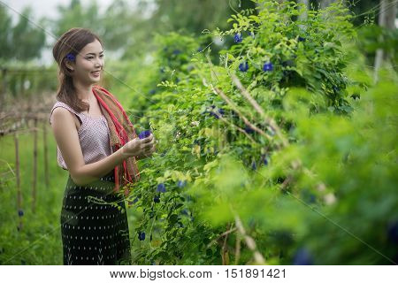 Beautiful Asian Woman Farmer In Flower Farm. Holding Butterfly Pea. Agriculture Organic Small Busine