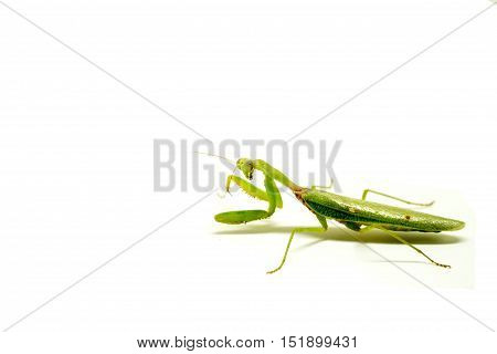 Mantis on white background. Closeup image of mantis. Soothsayer or mantis green insect. Mantis portrait. Grass green Mantodea from tropical nature. Mantis isolated picture with text place