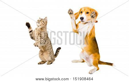 Frolicsome Beagle dog and cat Scottish Straight isolated on white background