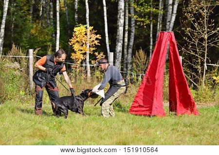 Two men - dog trainer and canine-decoy - teach doberman near forest at autumn sunny day