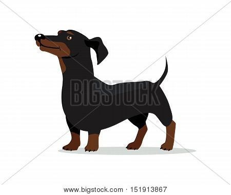Dachshund or badger dog breed flat design vector. Purebred pet. Domestic friend and companion animal illustration. For pet shop ad, animalistic hobby concept, breeding illustration. Canine portrait poster