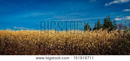 Ripe field of corn in PEI Canada