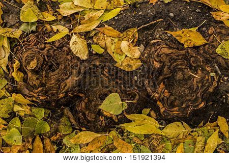Tree roots, poplar, the roots of an old large poplar and yellow leaves, fall back