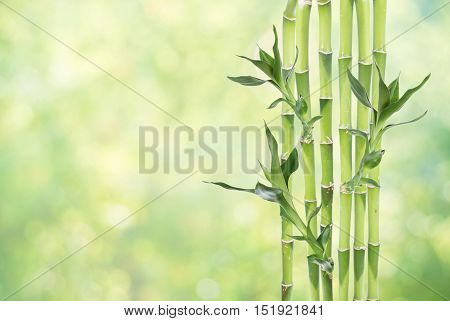 Several stem of Lucky Bamboo (Dracaena Sanderiana) with green leaves on natural green background with copy-space