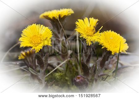 an early blossoming yellow tussilago farfare plant