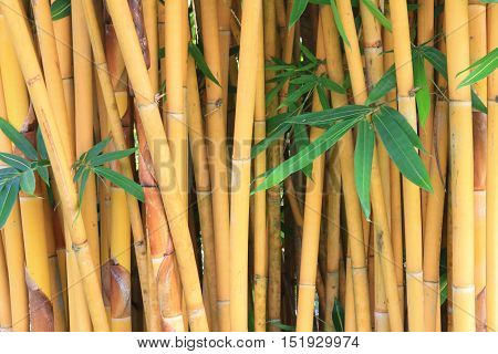 Yellow bamboo background with green bamboo leaf