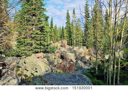 Aspen In Alpine Forest