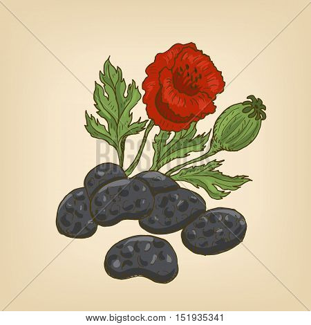 Poppy seed, flower and head. Vector illustration. Hand drawn illustration.