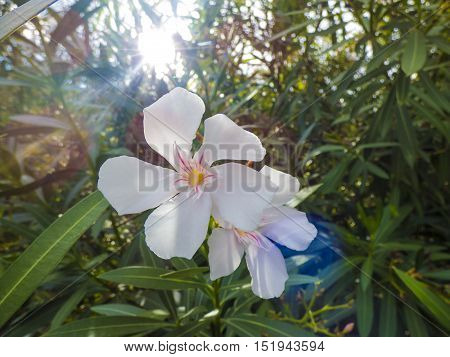 White Nerium Oleander at Sicily at Italy