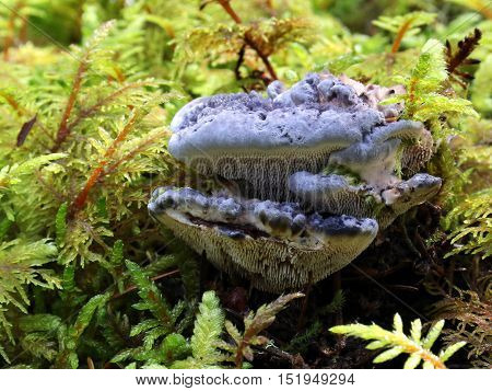 A Blue Tooth Fungus (Hydnellum caeruleum) growing in moss