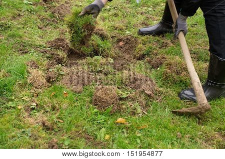repairing lawn in the garden destroyed by overpopulation wild pigs