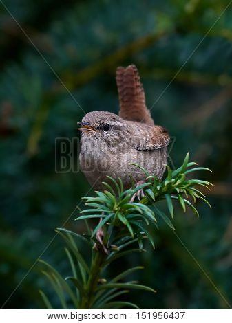 Eurasian wren (Troglodytes troglodytes) sitting on a branch in its habitat