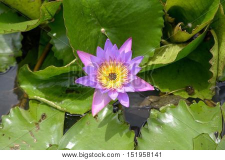 Nymphaea. Beautiful purple lotus flower in park