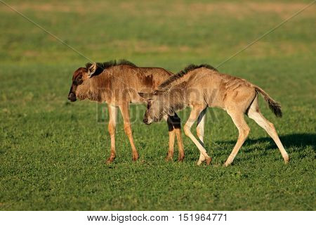 Two young blue wildebeest calves (Connochaetes taurinus), Kalahari, South Africa